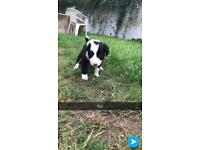 3 girls and 2 boys collie cross puppies