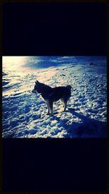 Two champion kc bred Siberian huskies