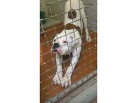 1 year old male American bulldog