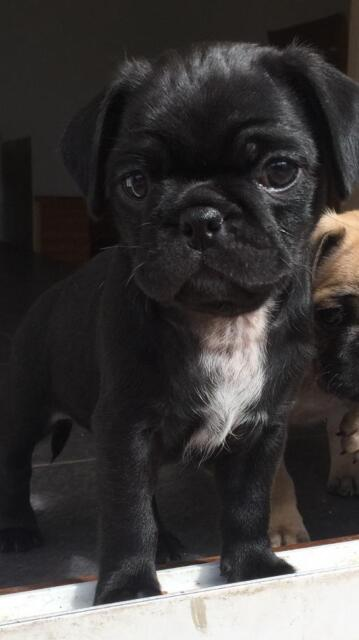 3/4 Pug Puppies (Chugs) Stunning! Last 2 Boys!Ready 7th Aug | in  Bournemouth, Dorset | Gumtree