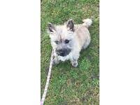 Cairn Terrier Puppy for sale £450 ONO