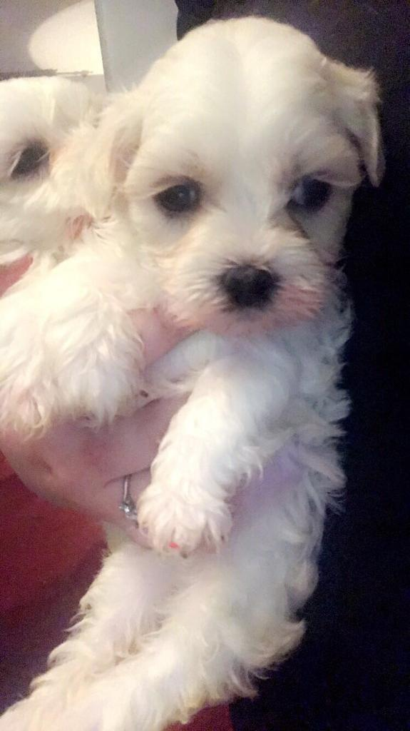 Gorgeous Maltese pups puppy dog
