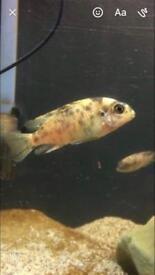 Tropical Fish Malawi Mbuna