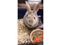 Mini Rex Male Rabbit