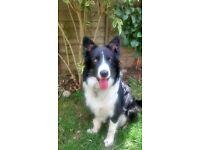 Border Collie tri colour pup for sale quick