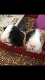 Couple of guinea pigs