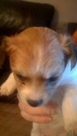 Chihuahua x Jack Russell mixed puppies