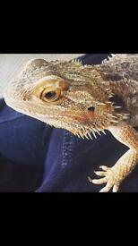 3 Bearded Dragons for sale with setups