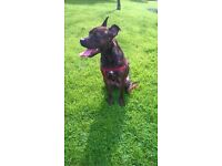Staffordshire Bull Terrier needing rehomed