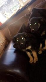 Beautiful golden shepherd puppies