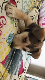 Husky cross staff puppy for sale - she is the sweetest puppy