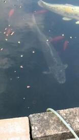 Ghost koi carp. Pond fish