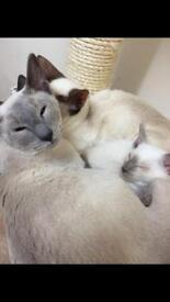 3 Siamese cats