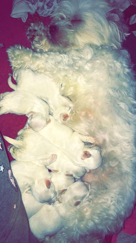 Maltese puppies 5 girls & 2 boys