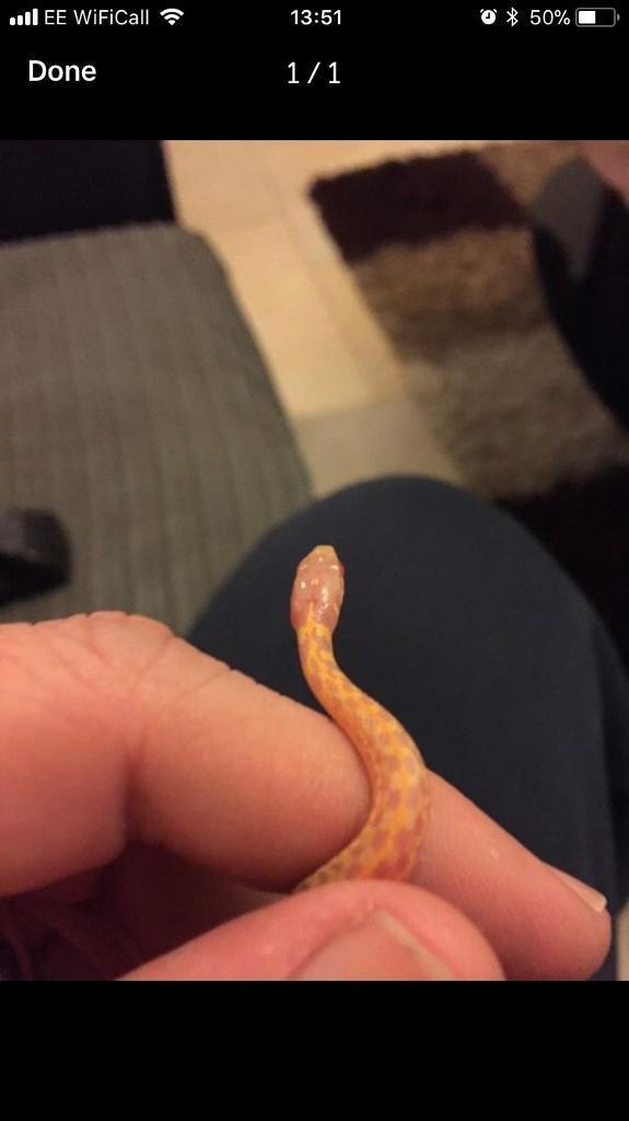 Albino garter snakes