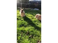 2 Lionhead Rabbits