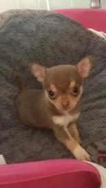 Pedigree lilac chihuahua puppy 🐶