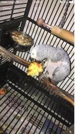 African grey bird