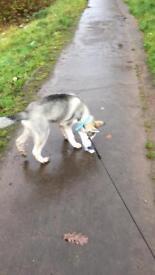 Husky pup 14 weeks