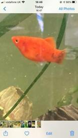 Various colour and age Platy fish