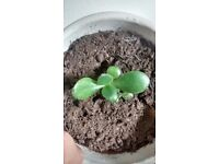 Jade house plant - seedling