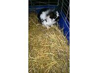 mail lionhead rabbit.