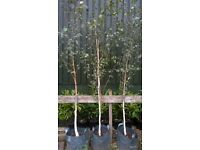 Himalayan Birch Tree (Betula jaqumontii)
