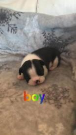 Boston terrier puppies 3 boys 3 girls 💕🔥💙