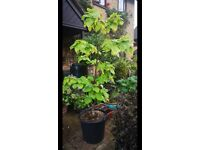 Price Reduced. Lovely established Indian Bean Tree about 6/7ft height. Needs to go to a new home