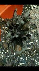 G pulchra (brazilian black tarantula )