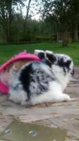 Baby Holland lops pure bread and pedigreed