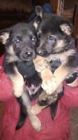 Chiots berger allemand