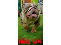 English bulldogs quality sired by mr uk