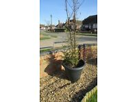 Black Bamboo Plant in approx 47cm pot