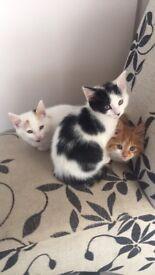 Beautiful black and white kitten £80