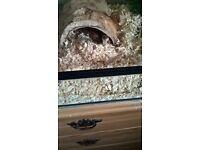 carolina corn snake with glass enclosure