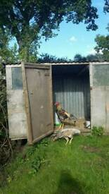 For sale rooster