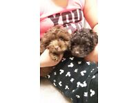 Last 3 beautiful Cockapoo Puppies