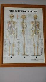 Framed Anatomy diagram posters x 4