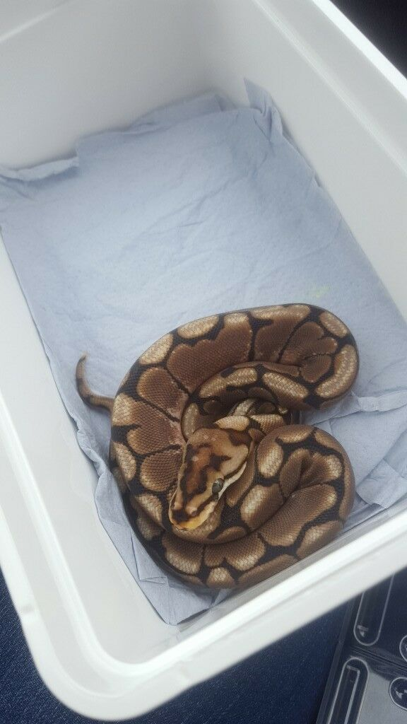 Male spider royal python