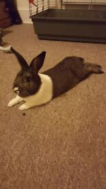 4 year old male Rabbit for sale to a lovely home!