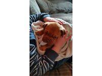 Dogue de boardeaux pups full pedigree