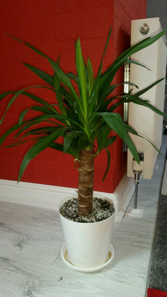 1 Year Old Yucca Tree Houseplant In Middlesbrough North