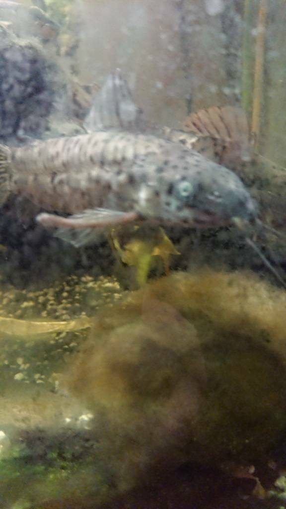 Tropical Catfish | Free Tropical Catfish In New Milton Hampshire Gumtree