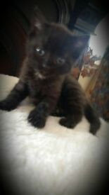 "kitten for sale ""Josie"" 🐱💟"