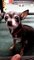 tiny grey chihuahua needs a home