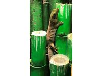 Day Gecko for Sale - Standings Day Gecko (Phelsuma standingi)