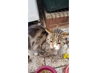 Tabby Female cat for sale in Ilford