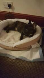 For sale French Bulldog boy