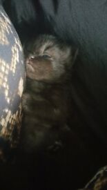 Ragdoll Chinchilla Persian kittens